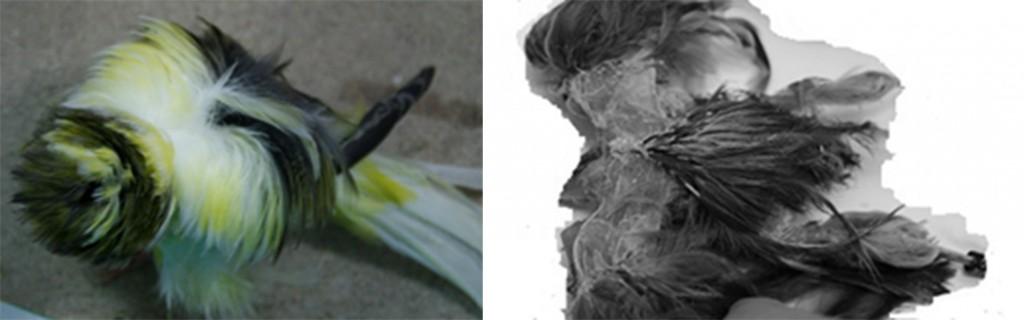 Fig. 3 Ramillete En esta figura podemos percibir el ramillete de dos Rizado, desde una perspectiva aérea o a vista de pájaro. Observando el rizado de la primera fotografía, por el color del plumaje de su espalda distinguimos: el manto,  plumas de color claro-amarillo, y el ramillete, plumas de color oscuro que se encuentran a continuación del manto. En esta imagen, solo se pueden avistar las plumas correspondientes al ramillete superior; éstas se encuentran situadas encima de las remeras del ala. La segunda foto compete más a un trabajo de anatomía y fisiología, que a un estudio sobre las características del estándar de ambas razas. Sin embargo, nos permite ver y determinar la zona o pterilo en donde se originan las plumas que dan forma al ramillete, así como las situadas próximas a la rabadilla, las olivas. Las plumas del almendruco y dorso bajo o inferior de esta foto corresponden a un Rizado de París un vez desflorado de las plumas más largas y vaporosas del ramillete y olivas.