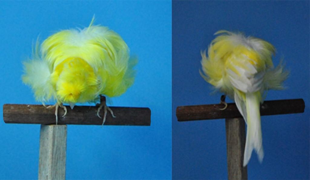 """Fig. 6-7:  Manto y ramillete. Esta imagen la componen cuatro fotografías de un Parisino desde ángulos distintos. Las dos fotos situadas a la izquierda muestran las plumas del manto; y, las fotos emplazadas a derecha, muestran  el manto y las plumas colocadas en su base que dan forma al ramillete.  Sus plumas, como podemos apreciar en las distintas fotos de esta imagen, son largas y abundantes y se aproximan a los hombros formando un manto voluminoso, que junto con el ramillete dan amplitud y anchura a los parisinos de la imagen, cualidad que aparece en los orígenes de la raza.  No debemos olvidar que, entre sus antepasados, se encuentra """"el Trompetero del Rey"""", cuya principal belleza residía en el plumaje de los hombros que recordaba el uniforme de los oficiales de la época. Un manto largo y que caiga sobre hombros y espalda como muestran los parisinos de las fotos, es considerado de buena calidad, y será siempre muy valorado. En cuanto al ramillete, los Rizados de las fotos de la derecha presentan una distribución de forma uniforme y simétrica de plumas largas y sedosas que caen a ambos lados, sin mostrar signos de revoltillo muy propio de los ramilletes con defectos. Esta distribución uniforme contribuye a la formación de una amplia espalda, convirtiéndola en un factor esencial en cuanto a calidad."""
