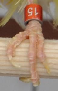Fig.17: Uña dedo pulgar irregular y deforme. Se puede apreciar que su formación córnea no es kla propia de la uña de un rizado, es decir, presenta un aspecto degenerativo