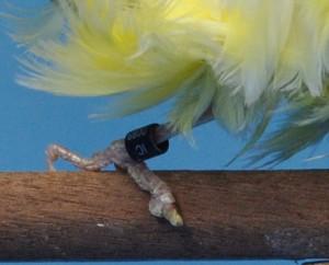 Fig.16: Dedo pulgar con uñero.